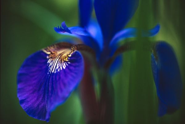 iris close up botanical purple flower