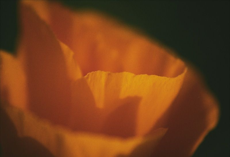 California poppy abstract macro blossom orange flower antelope valley reserve april 6th sixth backlit backlighting