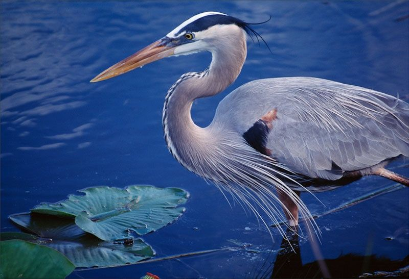 great blue heron everglades breeding plumage florida bird hunting